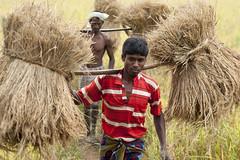 Bastar -Chhattisgarh - India (wietsej) Tags: india man zeiss rice sony working harvest 2470 a700 chhattisgarh bastar sal2470z