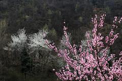 Val d'Aosta - le traverse di Arnad, bianco e rosa (mariagraziaschiapparelli) Tags: primavera fiori valdaosta escursionismo camminata arnad fioriture allegrisinasceosidiventa traversediarnad
