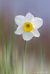 fiore di Narciso (fabrizio daminelli ) Tags: flower nature canon sigma natura fiore narciso narcissus amaryllidaceae fabriziodaminelli