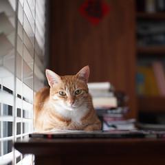 DSC09030s (lazybonessss) Tags: leica window cat momo kitten2 summicronm50 sonya7 sonyilce7