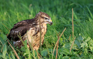 Buse variable - Domdidier/Fribourg/CH_20150810_019-1