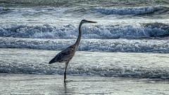 Heron (emptyseas) Tags: ocean usa beach heron sand nikon florida cocoa d800 emptyseas