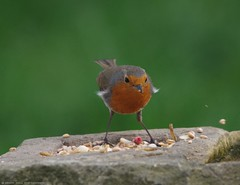 robin  13.05.16 (11) (Simon Dell Photography) Tags: uk red wild england detail bird simon robin garden photography one cool breast bright sheffield best awsome number dell valley wife xxx loved bf gf sute s12 britains hackenthorpe shirebrook uroasian