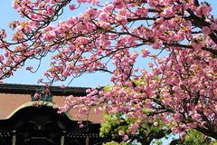 Pink cherry (Teruhide Tomori) Tags: plant flower tree japan spring kyoto shrine  cherryblossom  japon