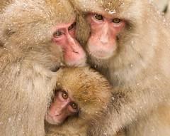 Japan. (richard.mcmanus.) Tags: japan explore cuddle monkeys gettyimages mcmanus primates honshu snowmonkeys japanesemacaques