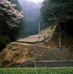 Shinma Tea Shelf (Tonx-) Tags: green film japan tea kodak hasselblad portra shizuoka