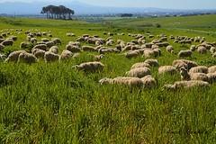 Gregge nella campagna romana (lumun2012) Tags: verde primavera landscape colours colore sheep campagna erba animali paesaggio lucio pecore pascolo gregge mundula