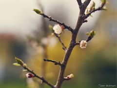 Glow (peredman) Tags: blossom apricot fruittree apricotblossom minoltamcrokkorpf58mmf14 metabonesspeedbooster