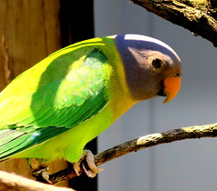 Colourful Parrot (elliott.lani) Tags: color colour nature beautiful birds outdoors bright outdoor vibrant flight feathers parrot tathra colourful lani parrots allrightsreserved naturephotography ontheperch elliottlani lanielliott
