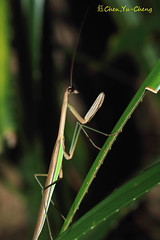 Mantis (~~ Y.C.CHEN) Tags: light black green nature beautiful night canon insect bokeh 7d marco