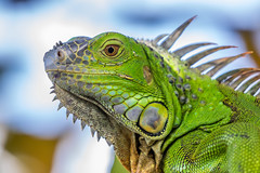 Iguana, Wakodahatchee Wetlands (Bill Varney) Tags: portrait green animal close florida outdoor wildlife iguana wetlands encounter wakodahatchee billvarney