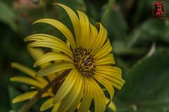 00312 (Tres-R) Tags: flowers espaa naturaleza flores nature spain galicia pontevedra morrazo tresr sonyrx10 rodolforamallo