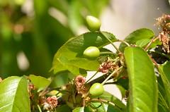Cherries promises (dfromonteil) Tags: macro green fruit cherry soleil spring bokeh sunny vert printemps cerises