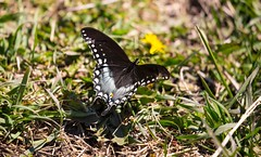 840A3014 (rpealit) Tags: nature butterfly river scenery wildlife trail national waters winding swallowtail refuge wallkill spicebush