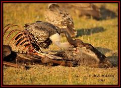 RUEPPELL'S GRIFFON VULTURE (Gyps rueppellii)......MASAI MARA......SEPT,2015 (M Z Malik) Tags: africa nikon kenya wildlife ngc safari kws masaimara d3x exoticafricanbirds exoticafricanwildlife 200400mm14afs