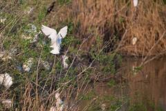 Bubulcus ibis (Kap_PH) Tags: bird nikon di vicenza casale oasi d600