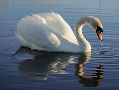Dribbling (Mac ind g) Tags: bird walking scotland spring swan reservoir muteswan cygnusolor eastrenfrewshire neilston lintmilldam