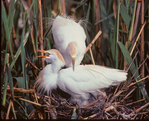 Western Cattle Egret, male and female on nest in Heronry