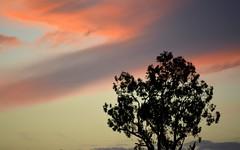 last colours (dustaway) Tags: autumn sky colour silhouette evening sundown dusk australia nsw cloudscape lismore northernrivers forestredgum monaltrie wilsonsrivervalley