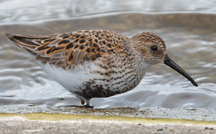 Dunlin 2 (Nicholls of the Yard) Tags: bird nature water wildlife dunlin pitsford wader