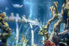 In the Shark Tank (jbarc in BC) Tags: arizona fish window glass phoenix coral aquarium shark ray underwater tank view scuba bones tropical whale aquatic hdr sealifearizona