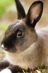 Toki (Tjflex2) Tags: pet rabbit bunny lapin