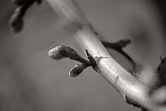 Origin (Silvia Corral) Tags: naturaleza white black tree blanco nature lines fruit branch negro line blanche tronco blanc rama negre branca linea origin tronc noire origen fruto linia unicromatico