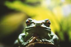 (Kilian H.) Tags: world light portrait color detail macro berlin green nature face canon photography eos aquarium eyes waiting fotografie looking amphibian frog explore h 7d kilian makro frosch terrarium amphibien hermfisse
