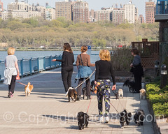Dog Walking, Edgewater, New Jersey (jag9889) Tags: people usa dog animal newjersey unitedstates outdoor unitedstatesofamerica nj walkway creature edgewater gardenstate dogwalking 2016 bergencounty 07020 zip07020 hrww jag9889 20160421