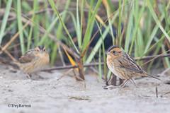 Nelson's Sparrows (Trey Barron) Tags: bird texas gulf nelsons shore sparrow marsh avian