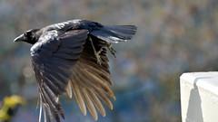 Big Bird Flying (gps1941) Tags: bird animal wing feathers crow tier vogel rabe krhe flug flgel federn