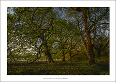 No Bluebells Here (shaun.argent) Tags: morning trees tree nature woodland spring woods flora seasons shaunargent
