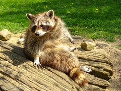 Waschbr leger (Fotoamsel) Tags: tiere natur niedersachsen waschbr tierparkessehof