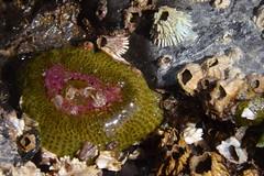 042616_ObPass_215 (Orcas Art) Tags: starfish anemone orcasisland tidepool obstructionpass rockpool ochrestar elegantanemone