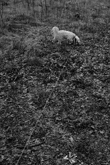 Dog Walk (R A Pyke (SweRon)) Tags: blackandwhite bw dog leaves forest walking early spring cross sweden dry fujifilm lhasa rebro apso varberga sweron x100s 20160430