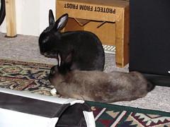 Zuzu and Toki (Anomieus) Tags: pet cute rabbit bunny bunnies animal furry konijn conejo tail ears rabbits paws coney coelho lapin kaninchen houserabbit coniglio cottontail  cony kanin  krlik leporidae nyl  iepure  leporid    kuni