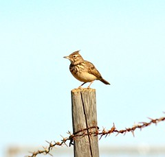 IMG_9600 (Terry Sims) Tags: portugal fence algarve common crested riaformosa skylark