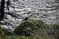 DSC_0010 (Lord Edam) Tags: winter nature water grass wales river stones walk wildlife betwsycoed conwy afon llugwy