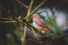 Red Beaked Finch #2 (connorcinhull) Tags: life red color colour bird animal photography photo nikon wildlife beak stripe connor finch photograph hull campbell amateur d600 beaked