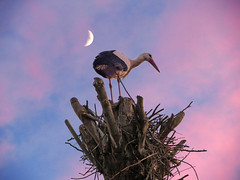 IMG_7379 the stork and the moon (pinktigger) Tags: pink italy moon bird nature animal italia outdoor stork cegonha cigea friuli storch ooievaar fagagna cicogne cicogna oasideiquadris feagne