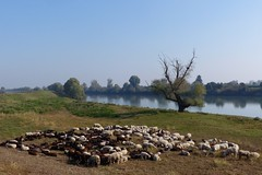 Gregge di pecore sulla golena dell'Adige (oscar_cavallaro) Tags: river sheep fiume anguillara padova pecore pastore adige veneto veneta gregge porcari