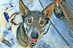2016 NL 300 Sled Dog Portrait W IMG_2699 (puckster55pics) Tags: blue alaska eyes dogsice dogshappy huskiessled