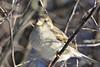 Huismus-House Sparrow (Passer domesticus) (Bram Reinders(on-off)) Tags: holland bird nature nikon wildlife bram nederland thenetherlands natuur sparrow mus groningen housesparrow passerdomesticus tamron vogel huismus farmsum reinders standvogel 150600 bramreinders wwwbramreindersnl nieuwsgierigheidisdebronvanallekennis curiosityisthesourceofallknowledge nikond7100 tamron150600 tamronsp150600mmf563divcusd ©bramreindersfarmsum