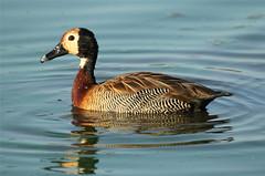 Dendrocygna viduata (White-faced Duck) (Nick Dean1) Tags: southafrica duck krugernationalpark dendrocygnaviduata lowersabie whitefacedduck sunsetdam