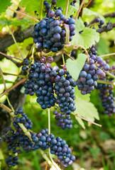 SCE_1584 (staneastwood) Tags: food black wales vineyard berry pattern wine outdoor vine grapes bunch pembrokeshire organicpattern staneastwood stanleyeastwood cumderi