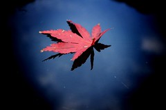 Fall.    Taken back in September 2015 (leepricey1) Tags: uk autumn red reflection tree fall nature composition leaf maple shadows minimal acer simple