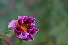 ([gegendasgrau]) Tags: flowers plants flower green nature yellow dof purple bokeh pov natur pflanzen atmosphere blumen gelb bud grn blume bochum blte violett ambiance 2015 atmo