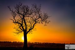 Ridge Tree (Rob Felton) Tags: nature silhouette sunrise bedford horizon scenic bedfordshire naturereserve vista felton goldenhour wildlifetrust greensandridge robertfelton greensandridgewalk oldwardentunnel oldwardentunnelnaturereserve wildlifetrustforbedfordshirecambridgeshireandnorthamptonshire