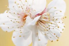 TWIN PLUM BLOSSOM (ajpscs) Tags: pink flower macro japan japanese tokyo spring nikon d750  nippon   tamron ume  haru hanegipark   umegaoka  seasonchange springblossom   ajpscs  scentofspring japaneseplumblossom  japaneseapricotblossom twinplumblossom