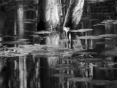 P2070319 (Roman Schatz) Tags: blackandwhite bw reflection nature monochrome waterlily australia olympus wetlands omd midnorthcoast